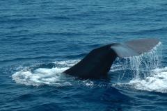 cachalot-baleine-2-rencontre-mediterranee-villefranche-sur-mer-nice-antibes-cannes