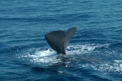 cachalot-baleine-rencontre-mediterranee-villefranche-sur-mer-nice-antibes-cannes