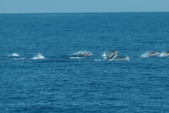 dauphins-bleu-blanc-2-rencontre-mediterranee-villefranche-sur-mer-nice-antibes-cannes
