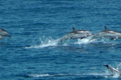 dauphins-bleu-blanc-3-rencontre-mediterranee-villefranche-sur-mer-nice-antibes-cannes