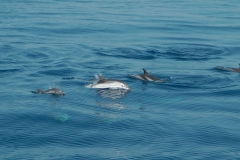 dauphins-bleu-blanc-5-rencontre-mediterranee-villefranche-sur-mer-nice-antibes-cannes