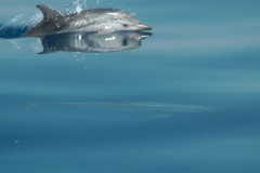 dauphins-bleu-blanc-7-rencontre-mediterranee-villefranche-sur-mer-nice-antibes-cannes