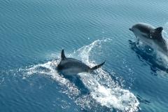 dauphins-bleu-blanc-8-rencontre-mediterranee-villefranche-sur-mer-nice-antibes-cannes