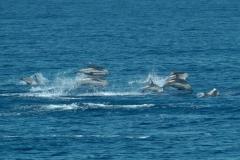 dauphins-bleu-blanc-rencontre-mediterranee-villefranche-sur-mer-nice-antibes-cannes