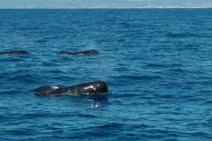 globicephale-baleine-2-rencontre-mediterranee-villefranche-sur-mer-nice-antibes-cannes