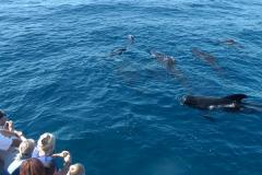 globicephale-baleine-3-rencontre-mediterranee-villefranche-sur-mer-nice-antibes-cannes
