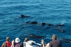 globicephale-baleine-4-rencontre-mediterranee-villefranche-sur-mer-nice-antibes-cannes