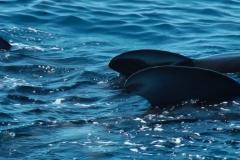 globicephale-baleine-5-rencontre-mediterranee-villefranche-sur-mer-nice-antibes-cannes