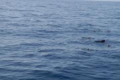 globicephale-baleine-7-rencontre-mediterranee-villefranche-sur-mer-nice-antibes-cannes
